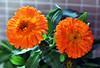The orange pair (Pensive glance) Tags: flower fleur plant plante