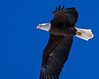 New Year's Eagle (Scott M. Mohn) Tags: newyearsday blueskies beautiful beautyinnature eagle bird avain raptor predator birdofprey wings feathers plumage wingspan beak talons inflight closeup wildlife minnesota winter cold nationalbird baldeagle carnivore acciptrid flying haliaeetusleucocephalus sonyilca77m2 animal