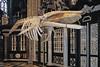UGhent (Belgium) displays whale skeleton in Ghent's Sint-Baafs cathedral (Zeldenrust) Tags: belgië belgium belgique places cities towns gent belgien bélgica vlaanderen flanders flandern flandres flandes stad ville stadt town ciudad flandre ghent gand gante kathedraal cathedral cathedrale catedral kathedrale sintbaafskathedraal hendrikvanzeldenrust vanzeldenrust zeldenrust skelet skeleton skelett squelette esqueleto walvis whale wal baleine ballena vinvis rorqual furchenwal rorcual sintbaafscathedral