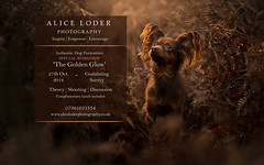 The Golden Glow 2018 (Alice Loder) Tags: workshop dog photography pet training teaching education days dslr canon nikon sony