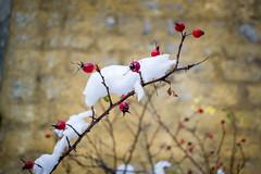 DSC_2001 (martin.brazdil) Tags: rosehip hip winter snow germany