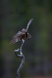 Hunting sparrowhawk