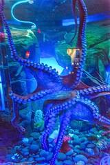 Aquarium DSC07195_2 (Heather*987) Tags: aquarium christmas ripleysaquarium toronto canada150 dogwood52 2017 octopus
