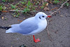 BLACK HEADED GULL (GA High Quality Photography) Tags: creative creativework amazing attractive awesome stunning beautiful best bokeh blue color colors colour colours colorful colourful cloud clouds cool cute dramatic europe exposure eye eyes fabulous fantastic field fine fun fotografia photography photographer gorgeous image interest lighting lovely manual natural new nice outdoor pop purple green splendid view wonderful