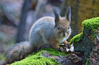 Excuse me, when does winter start??? #Finland #Squirrel