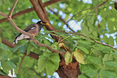 Common Myna (Colin Kavanagh) Tags: bird birds birdphoto birdphotography wildlife wildlifephotography urbanwildlife urban tree trees branches leaves animals animalphoto mynah myna commonmyna indianmyna chiangmai thailand ngc 50mm14 lookingup