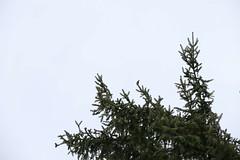 Gimpel, NGIDn811169053 (naturgucker.de) Tags: ngidn811169053 naturguckerde gimpel tk25blatt84262allgäuthalkirchdorfmissen cemanuelgraf