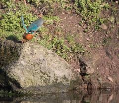 Right, I'm off! (Mukumbura) Tags: kingfisher bird fish fishing catch water splash flying wildlife england alcedoatthis bishopspalace moat wells somerset nature wall rock