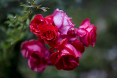 Wet Roses (Keith Midson) Tags: roses rose flowers garden wet canon sigma 85mm f14