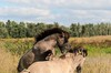 Communication (pel16931) Tags: horses paarden lelystad flevoland oostvaardersplassen staatsbosbeheer moerasgebied rietvlaktes vogels edelherten konikpaard heckrunderen vos ree haas nederland holland konikhorses