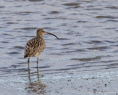 Photo of Curlew Teifi River-1
