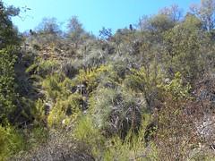 Puya coerulea RB2185 (Robby's Sukkulentenseite) Tags: bromeliaceae cachen chile coerulea fnrrb2185 gc0959 lacampana olmue pflanze puya rb2185 reise sk0785s standort valparaiso vortrag1