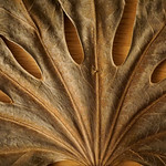 giant leaf thumbnail