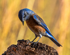 Western Bluebird (Sialia mexicana) on Stump: Arizona (mharoldsewell) Tags: 2017 arizona d7200 nikon november sialiamexicana westernbluebird mharoldsewell mikesewell photos