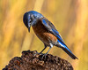 Western Bluebird (Sialia mexicana) on Stump: Arizona (mharoldsewell) Tags: 2017 arizona d7200 nikon november sialiamexicana westernbluebird mharoldsewell mikesewell photos