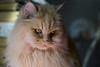 Tiny Monster (Samicorn) Tags: nikon cat kitty fluffy fur animal small himalayan persian dollfacedpersian doll face whiskers eyes apartment indoor