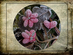 19 dicembre 2017 (adrianaaprati) Tags: evonimous plant composition leaves fruits berries red stilllife december textured lenabemannaj heart hearts lobes ice icy frozen nature park pink