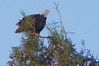 Bald Eagle over looking the area (Scott Severn) Tags: bald eagles