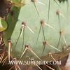 Opuntia cantabrigiensis-3 (SUBENUIX) Tags: cactaceaeopuntias opuntiacantabrigiensis suculentas subenuix subenuixcom planta suculent suculenta botanic botanical