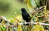IMG_8876  White-lined Tanager-male (ashahmtl) Tags: whitelinedtanager male bird tanager songbird tachyphonusrufus mindo pichinchaprovince ecuador