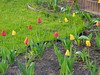 Front of the house - spring tulips (Guenther Lutz) Tags: impact outdoor spring