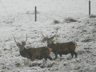 Stags, near Achnasheen, Boxing Day 2017