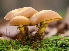 Stockschwämmchen 3 (dr.klaustrumm) Tags: moos stockschwämmchen pilz herbst wald baum led focus stacking