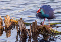 Caimão (Porphyrio porphyrio) |  Purple Swamphen | Purpurhuhn | Calamón Común | Talève sultane (Fernando Delgado) Tags: purpleswamphen caimão sultana galinhasultana porphyrioporphyrio calamóncomún purpurhuhn talèvesultane pollosultano aves birds waterbirds waders limícolas quintadolago loulé parquenaturaldariaformosa dezembro 2017 nature natureza naturalpark naturephotographer