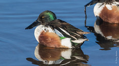 Northern shoveler (Anas clypeata) (Tony Varela Photography) Tags: anasclypeata nsho northernshoveler photographertonyvarela