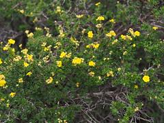 Potentilla parvifolia 小叶金露梅 (Smalltown Huang) Tags: potentilla rosaceae