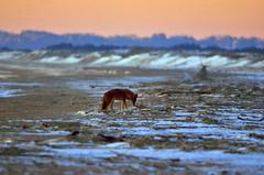 Eastern Coyote (SarahRydgren) Tags: massachusetts newengland love snow freezing sunrise dawn coast eastcoast