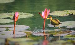 Bronze-winged Jacana ( দল-পিপি ) (redwanulhoq.sajal) Tags: bronzewinged jacana দলপিপি bird bd dhaka dahuk color colorfulbird