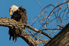 bald eagle (William Van der Hagen) Tags: bald eagle eagles mature perched