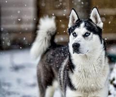 King Juneau (Bernie Kasper (2.5 m views)) Tags: art berniekasper d600 dog snowdog family hiking indiana ice light love madisonindiana animal nature nikon naturephotography new outdoors outdoor old outside cold snow winter siberianhusky