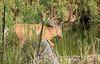 Urban Mule Deer -- Buck in Velvet (Odocoileus hemionus);  Water Park, Kelowna, BC, Canada [Lou Feltz] (deserttoad) Tags: nature mammal animal gameanimal muledeer tree canada bc water lake park behavior