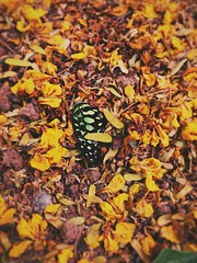For the love of the trails you've left behind... (aleef jahan) Tags: butterfly death wings sorrow love nature yellow goodbyes motog4plus phonography hyderabad lost abstract coneptualphotography forest memories