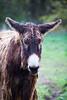 Poitou donkey (Cloudtail the Snow Leopard) Tags: esel tier animal mammal säugetier poitou baudet du donkey ass poitevin domestic zoo mulhouse
