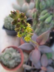 Lenophyllum reflexum