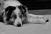Chah-chah-chah (Jasper's Human) Tags: aussie australianshepherd dog