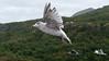 on the way (Sabinche) Tags: gull bird norway trollfjord nature animal panasonic lumix fz1000 sabinche