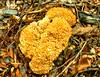 Morchel_Pilz_DSC_6674 (WeZiHeu44) Tags: pilz morchel hardegg natio nationalpark thayatal wald laub holz