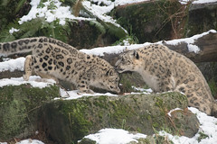 Snow Leopard Dinner Table (zenseas) Tags: snowleopards december cold washington winter helen unciauncia phinneyridge pantherauncia aibek snowy snowleopard woodlandparkzoo seattle snow cub fivemonthsold explore explored