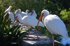 Lined Up (ACEZandEIGHTZ) Tags: white ibis albus nikon d3200 zoo miami zoomiami dadecounty avian eudocimus metrozoo onawall