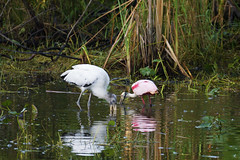 Roseate Spoonbills (c) 2017 Dr. Lester Shalloway all rights reserved; at Loop Road