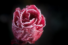 rose rouge par un froid matin (christophe.laigle) Tags: rose rouge christophelaigle nature flower frost red frosty fleur macro xpro2 hiver fuji cristaux givre glacée glace xf60mm ice ngc