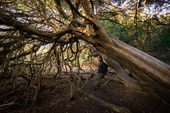 David amongst the giants (Jenny.Lawrence) Tags: ancient woodland woods forest nature reserve national park kingley vale chichester west sussex tree trees sony sonyalpha sonya7 wideangle