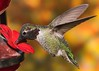 Anna's Hummingbird (gilamonster8) Tags: yellow quality arizona az american wing white sky stick explore explored eyes eos eat ef400mm56l eyeball eating desert canon color common red flight flickrelite fly view tucson tail talons tree twig green gray great garden bird bokeh beyondbokeh beak bill black hummingbird ngc usa male insect orange plant animal 7dmarkii