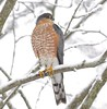 Bird Watching (Slow Turning) Tags: accipiterstriatus sharpshinnedhawk raptor bird perched tree shrub branch snow banded ringed winter southernontario