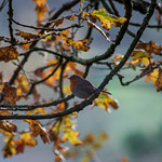 Robin in an Autumnal tree
