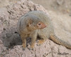 Dwarf Mongoose (ToddLahman) Tags: dwarf dwarfmongoose mongoose outdoors beautiful portrait photooftheday canon7dmkii canon canon100400 closeup sandiegozoo sandiego